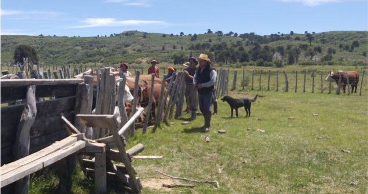 vacunación, separación y retiro de la hacienda en Polcahue