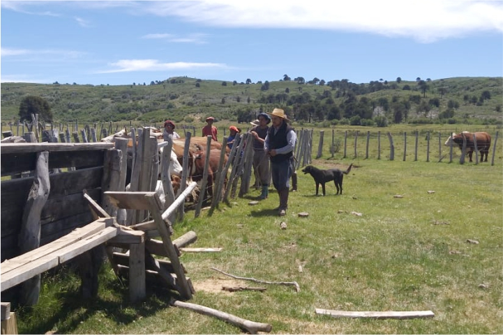 Se realizaron tareas de vacunación, separación y retiro de la hacienda en Polcahue