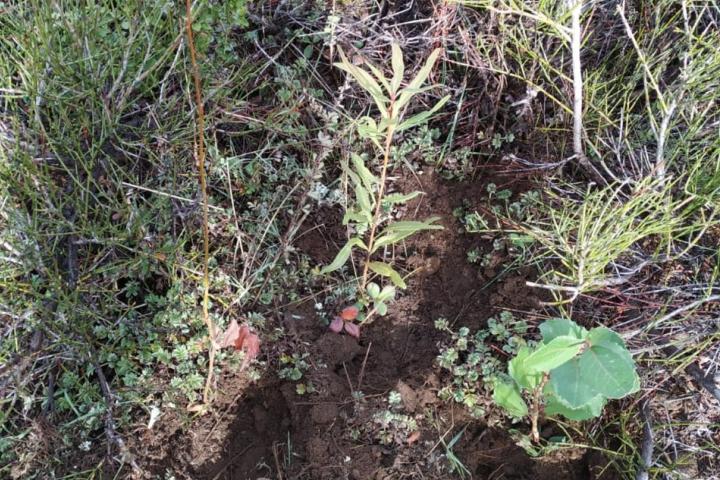 reforestacion de nativas